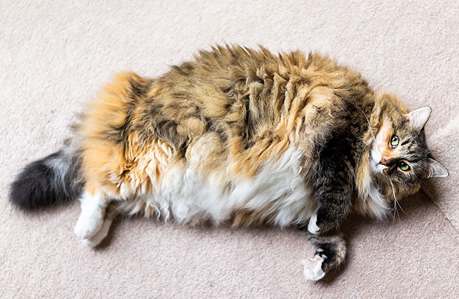 Is Your Pet Overweight? Here's What to Do