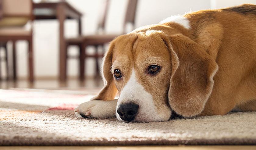 Chronic vs. acute pain in dogs