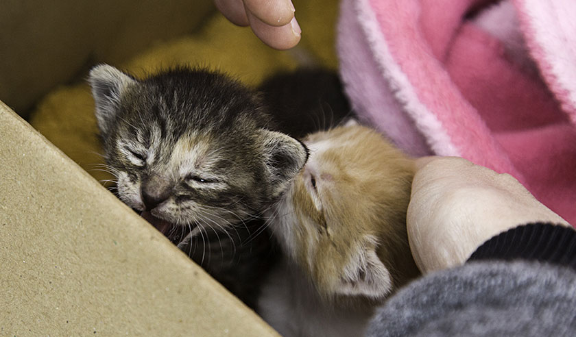 It's kitten season: Diseases often found in young cats