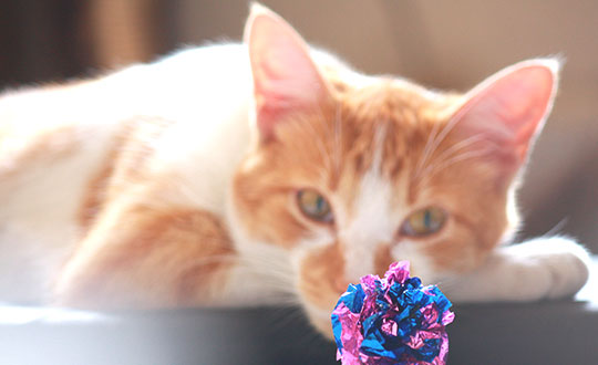 cat staring intently at a cat toy