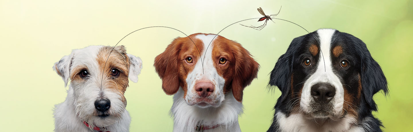 Three dogs with mosquito