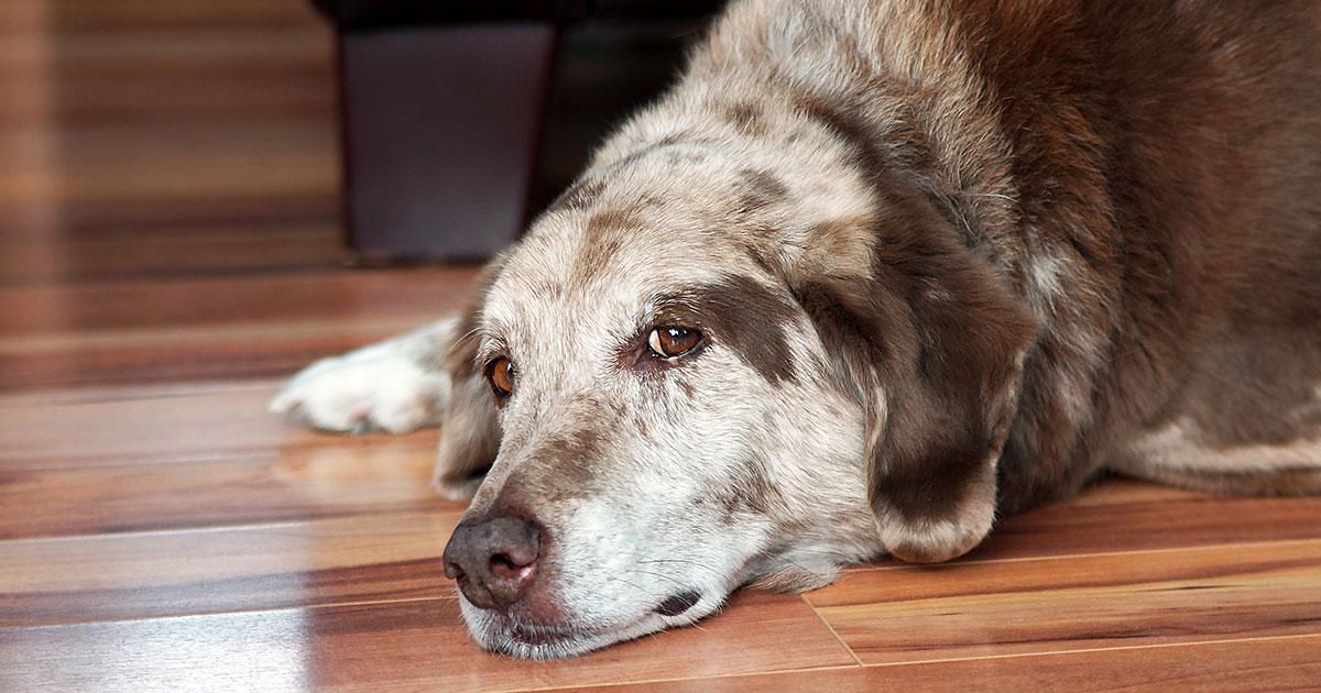 Understanding your dog's osteoarthritis symptoms